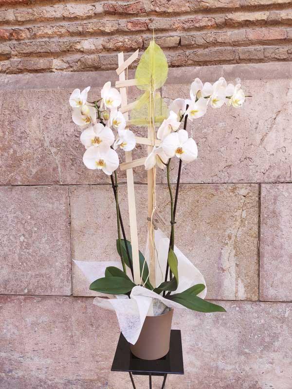orquídea phalaenopsis con envoltorio de regalo